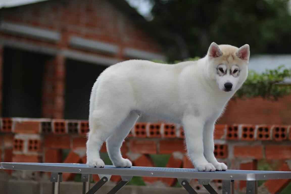 Nhận phối giống chó Husky Siberian gen đẹp ở VN 7726e99c720eee597c09e01ed7981825
