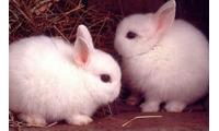 Thỏ cảnh, thỏ giống