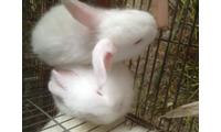 Bán thỏ giống - thịt - con - móc hàm